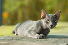 Gatto blu di Siames Fotografia Stock Libera da Diritti