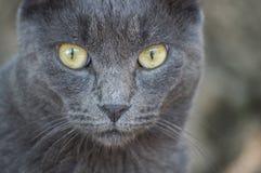 Gatto blu russo Immagini Stock Libere da Diritti