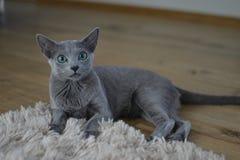 Gatto blu russo Immagini Stock