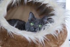 Gatto blu russo in Cat Cave Fotografia Stock