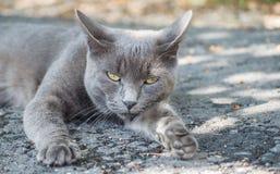 Gatto blu russo pigro Fotografia Stock