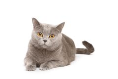 Gatto britannico Immagini Stock