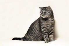 Gatto britannico fotografia stock