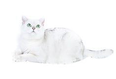 Gatto britannico bianco Immagine Stock