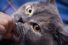 Gatto britannico che morde leggermente il vostro uomo di dito Fotografie Stock Libere da Diritti