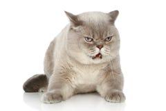 Gatto britannico che si trova su una priorità bassa bianca Immagini Stock Libere da Diritti