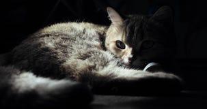 Gatto britannico che si trova sul pavimento, provante a dormire Gatto felice stock footage