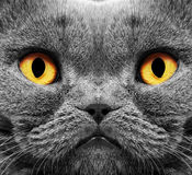 Gatto britannico dei capelli di scarsità Fotografia Stock Libera da Diritti
