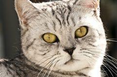Gatto britannico dei capelli di scarsità Immagini Stock