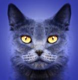 Gatto britannico dei capelli di scarsità Fotografie Stock Libere da Diritti