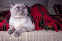 Gatto britannico del colorpoint dello shorthair Fotografie Stock