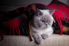 Gatto britannico del colorpoint dello shorthair Fotografia Stock