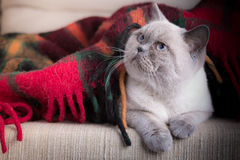 Gatto britannico del colorpoint dello shorthair Fotografia Stock Libera da Diritti