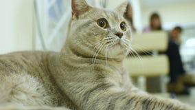 Gatto britannico della cenere dello shorthair sui precedenti della gente con gli animali domestici video d archivio
