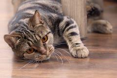 Gatto britannico della razza dei peli di scarsità con le sbirciate gialle luminose degli occhi da dietro la sedia, cercante per q fotografie stock