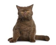 Gatto britannico dello shorthair, 11 mese Immagini Stock Libere da Diritti
