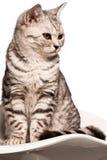 Gatto britannico dello shorthair Fotografia Stock