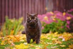 Gatto britannico dello shorthair di Brown all'aperto Fotografia Stock