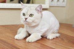 Gatto britannico dello shorthair, fine su Fotografia Stock Libera da Diritti