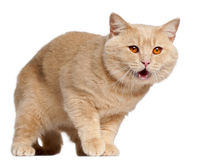 Gatto britannico di Shorthair, 1 anno, levantesi in piedi Fotografie Stock