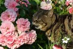Gatto britannico di Shorthair Immagine Stock