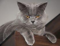 Gatto britannico di Shorthair Fotografie Stock