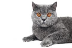 Gatto britannico di Shorthair isolato Fotografie Stock