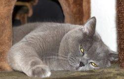 Gatto britannico grigio Immagini Stock Libere da Diritti
