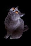 Gatto britannico grigio con gli occhi gialli scuri Fotografia Stock