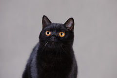 Gatto britannico nero Fotografia Stock
