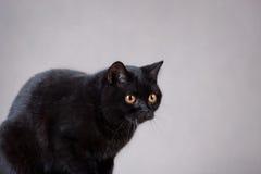 Gatto britannico nero Immagini Stock