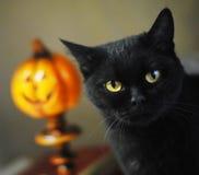 Gatto britannico nero Ritratto del primo piano sui precedenti delle zucche di Halloween Fotografia Stock