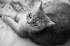 Gatto britannico rilassato Fotografie Stock Libere da Diritti