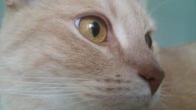 Gatto britannico rosso dello shorthair immagini stock