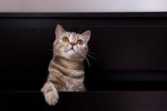 Gatto britannico in scatola Fotografia Stock