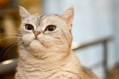 Gatto britannico scontroso fotografia stock libera da diritti