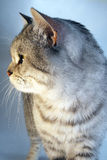 Gatto britannico scozzese Cincillà grigio del soriano Fotografie Stock Libere da Diritti