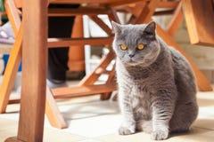Gatto britannico serio Immagine Stock