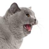 Gatto britannico spaventato di Shorthair che sibila Fotografie Stock Libere da Diritti
