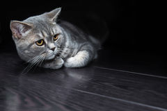 Gatto britannico su un pavimento nero Fotografie Stock Libere da Diritti