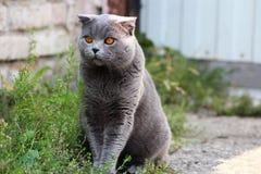 Gatto britannico su una passeggiata Immagine Stock