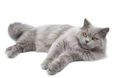 Gatto britannico sveglio di menzogne isolato Immagine Stock