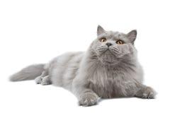 Gatto britannico sveglio di menzogne isolato Fotografia Stock