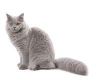 Gatto britannico sveglio isolato Immagini Stock