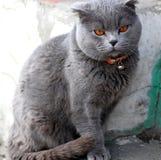 Gatto britannico in un collare rosso fotografia stock