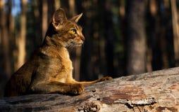 Gatto calmo abissino all'aperto che si trova sul tronco di albero Immagini Stock