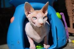 Gatto calvo di Sphynx nel contenitore di trasportatore Immagine Stock