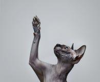 Gatto canadese dello sphynx Fotografia Stock