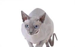 Gatto canadese dello sphynx Immagini Stock Libere da Diritti