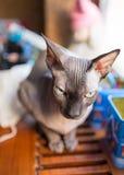Gatto canadese dello sphynx Fotografie Stock